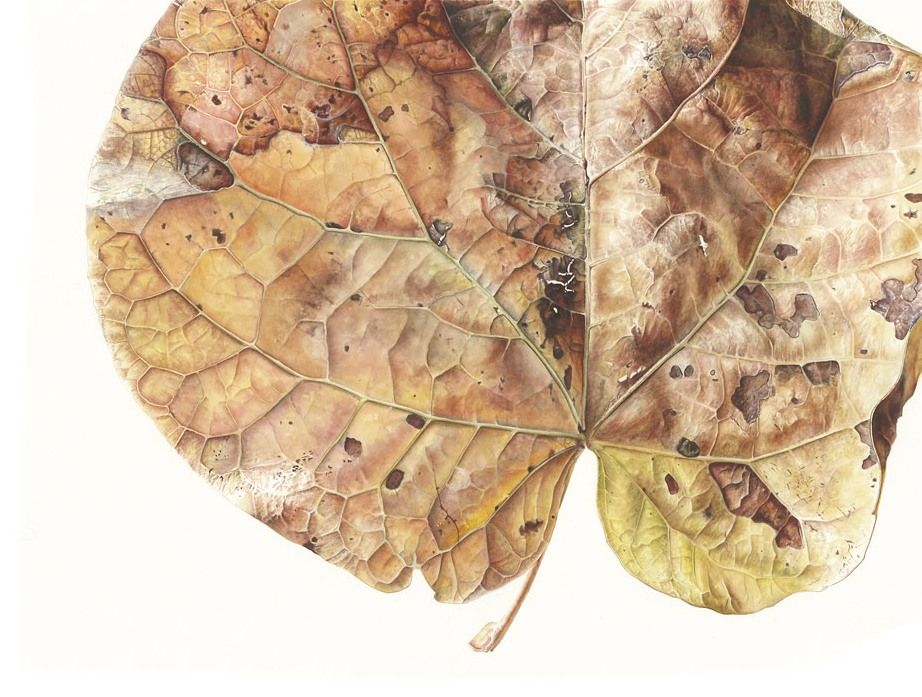 Grape (Vitis vinifera) leave. Large-scale watercolour on paper. Jess Shepherd.